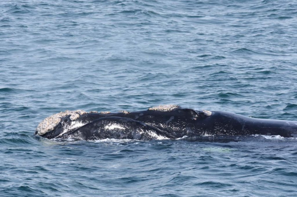Südkaper (Southern Right Whale)