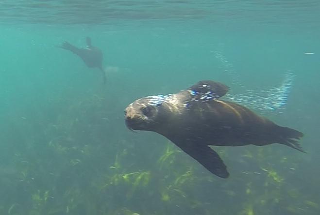 Robben unter Wasser vor Duiker Island
