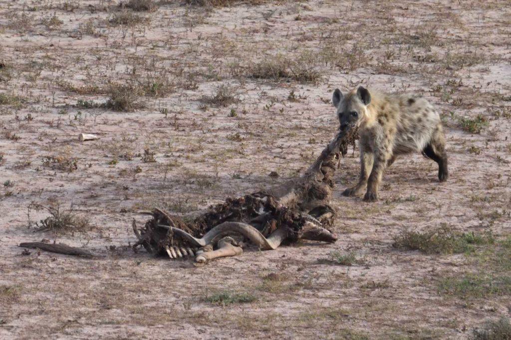 Hyäne mit Kudu-Kadaver