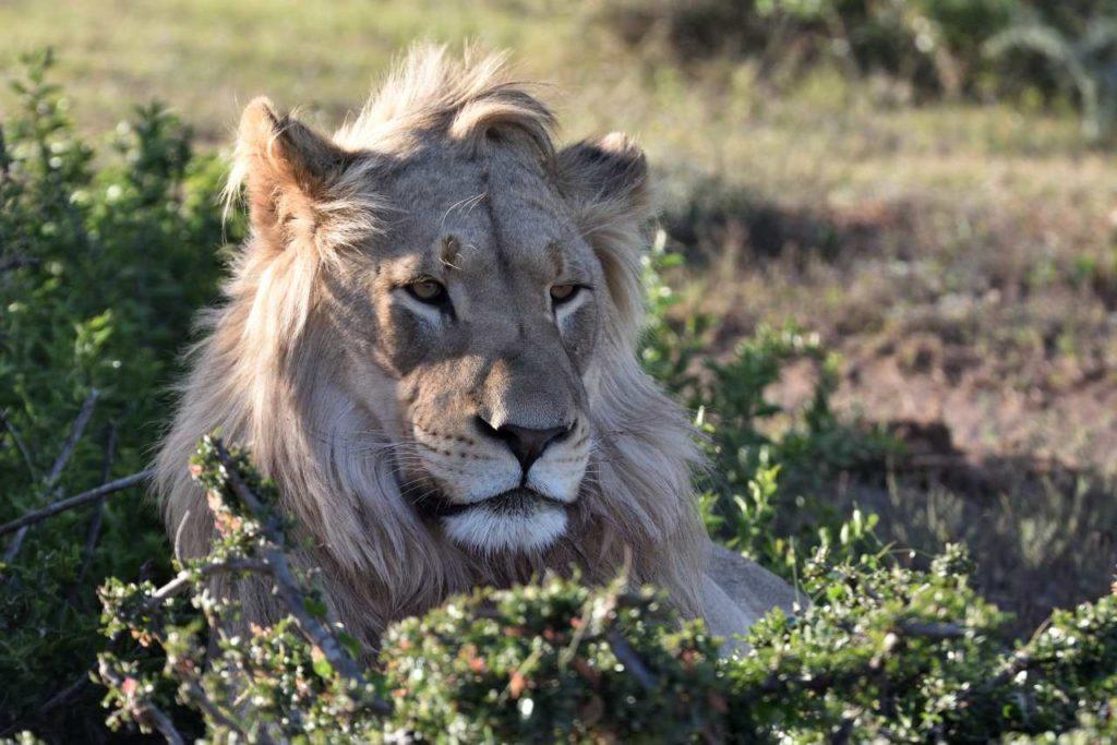 Löwe im Addo Elephant Park