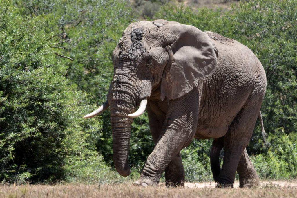 Elefantenbulle am Main Camp
