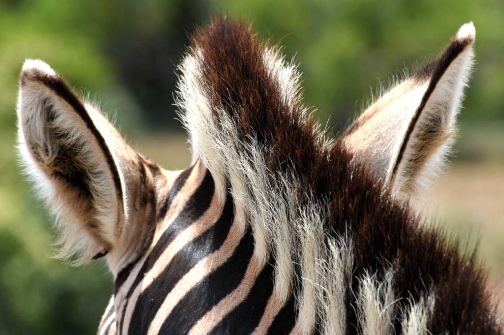 Zebra Mähne