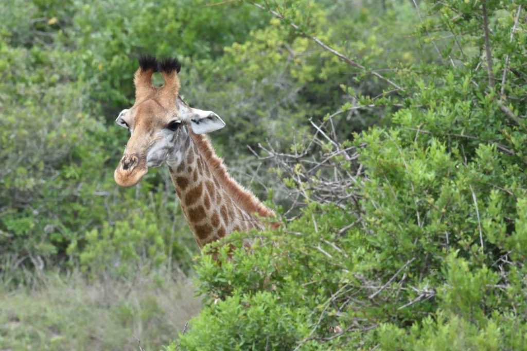 Giraffe im Lake Eland Game Reserve