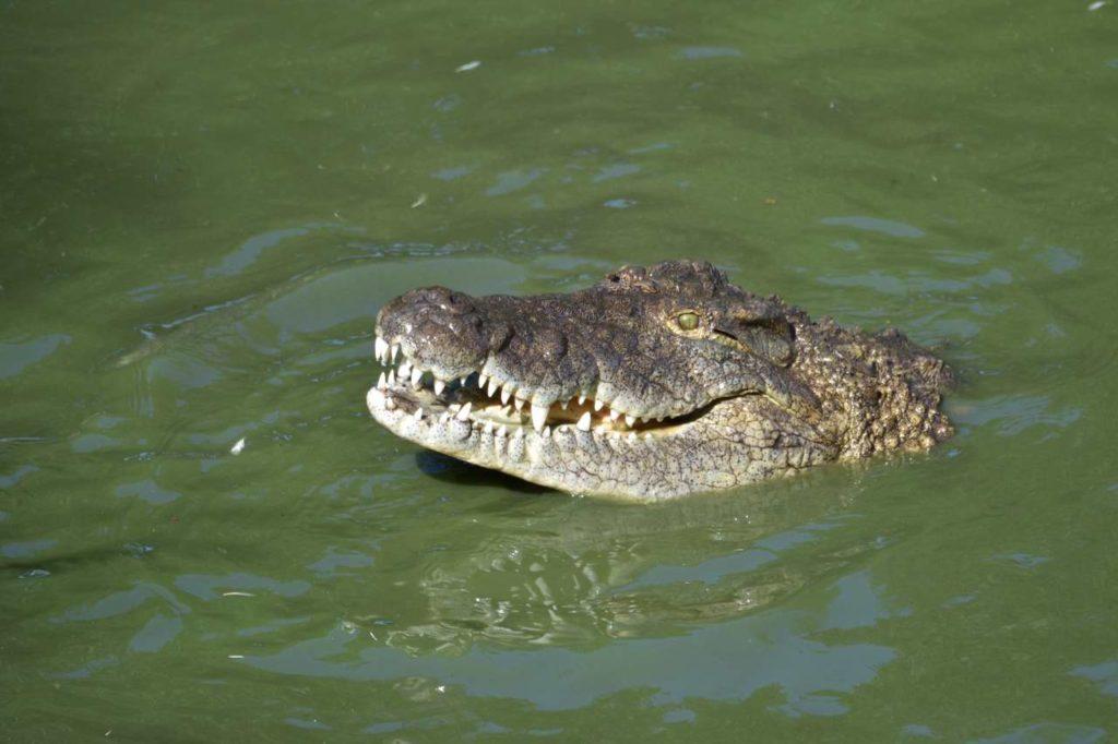 Nilkrokodil auf der Riverbend Crocodile Farm