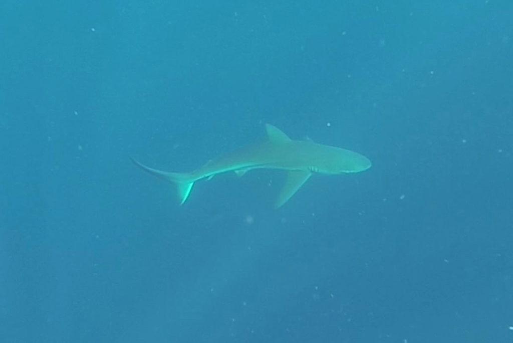 Schwarzhai bei Protea Banks