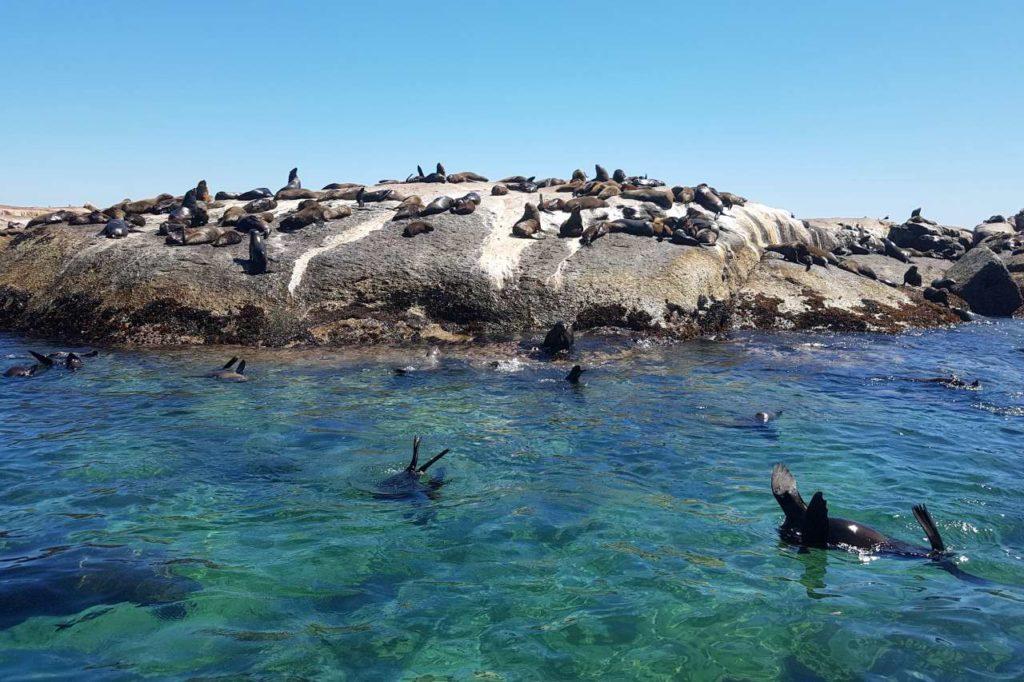 Robben auf Duiker Island